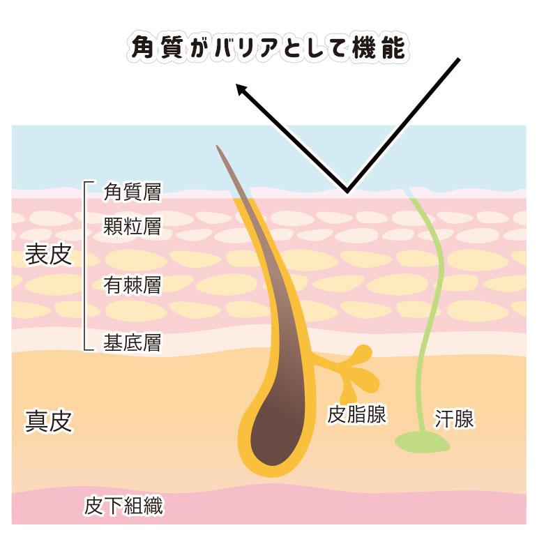 皮膚の仕組み